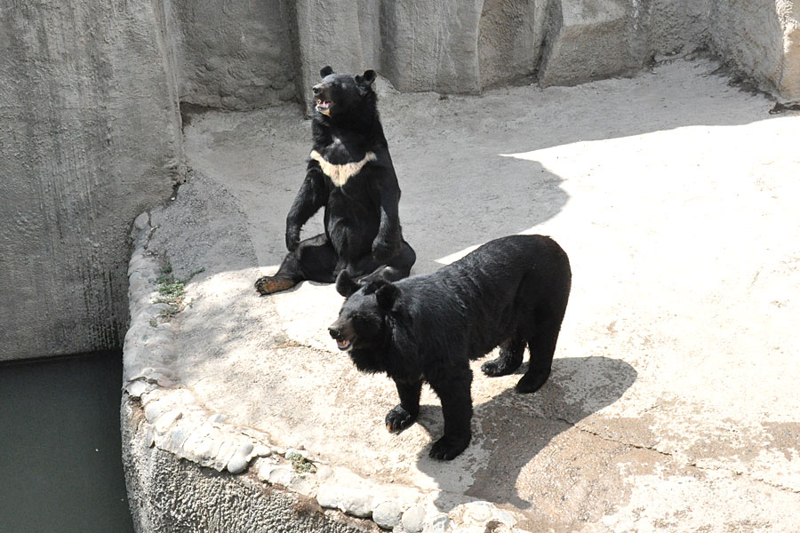 big-black-bears