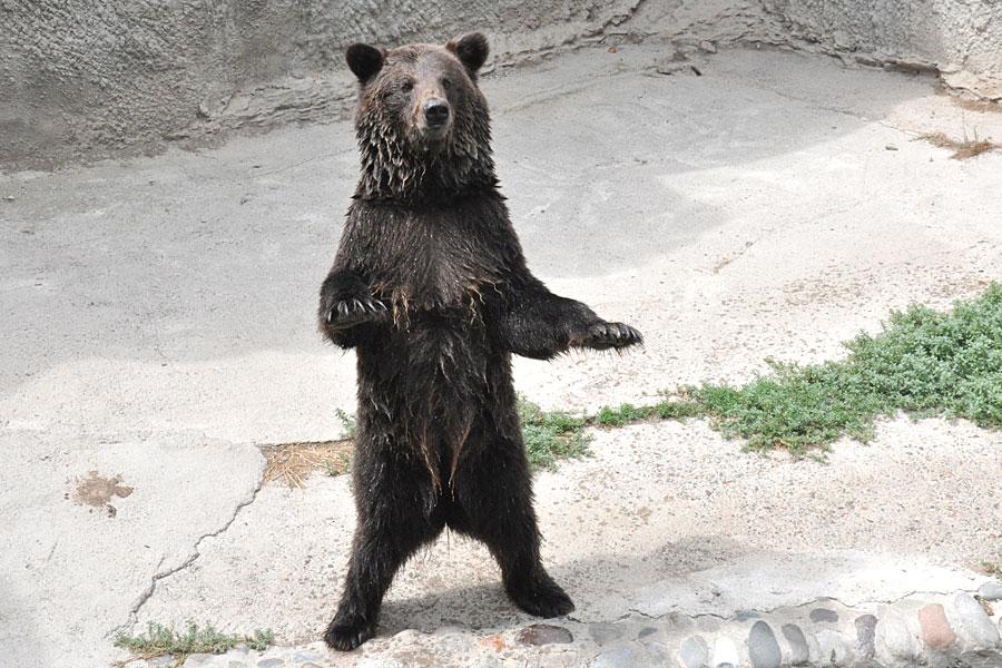 big-brown-bear