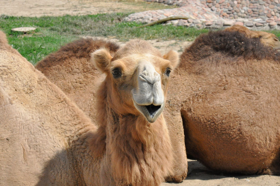 big-camel