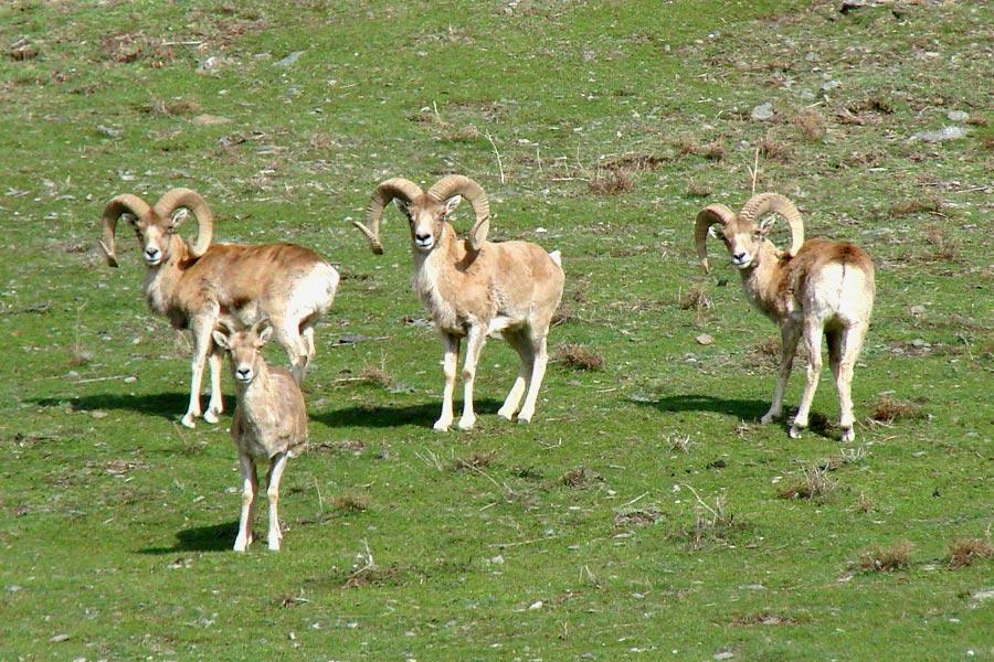 severtsov-wild-sheep