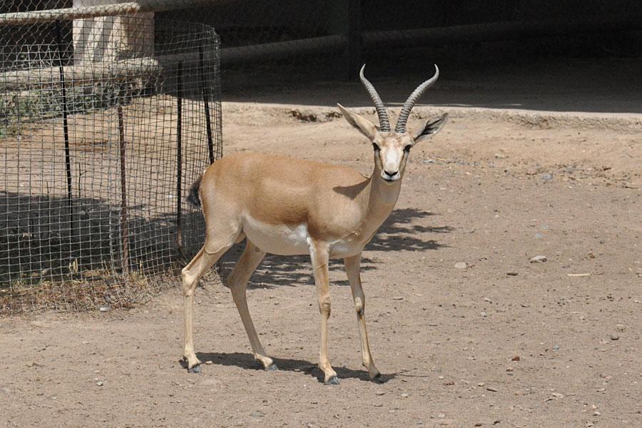 zoo-gazel