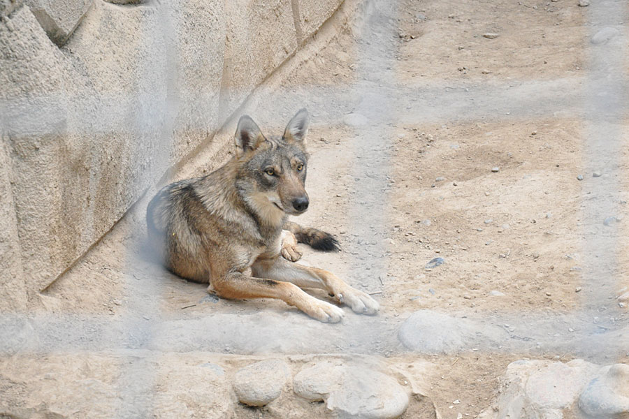 zoo-wolf