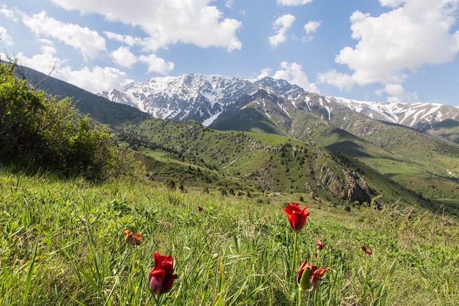 Aksu Zhabagly nature reserve with rare endemic red book tulips, oldest in Central Asia, situated in Kazakhstan